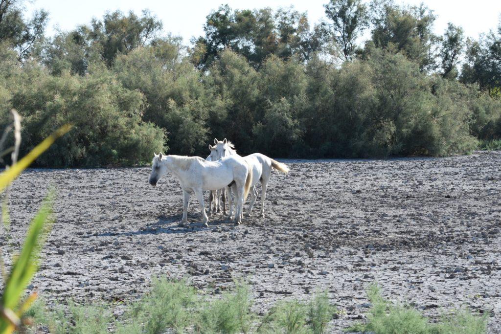 safari 4x4 Camargue chevaux 2